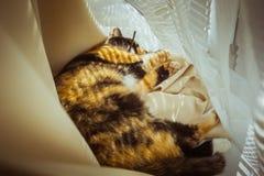 Il gatto tricolore si trova sul davanzale le tende beige, Tulle bianca, finestre si sono chiuse dagli otturatori del rullo freddo fotografie stock