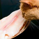 Il gatto vede sui pesci Immagine Stock