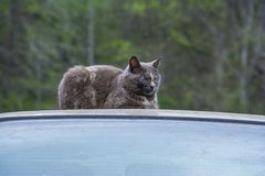 Il gatto vizioso dell'uccisore dorme dopo avere cercato immagine stock