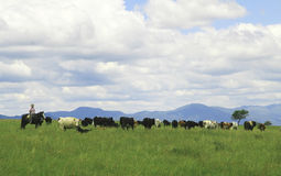 Il gaucho che raduna le mucche si avvicina a Salta, Argentina immagine stock