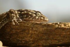 Il gecko sulla roccia fotografia stock libera da diritti