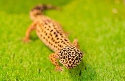 Il geco subletale del leopardo si siede su erba verde in un negozio di animali nella t Immagine Stock Libera da Diritti