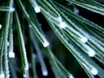 Il gelo ha coperto gli aghi del pino a macroistruzione Fotografie Stock