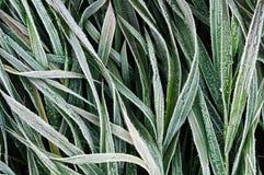Il gelo ha coperto l'erba Fotografia Stock