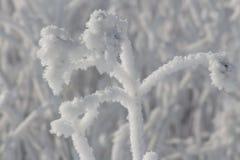 Il gelo ha coperto l'erbaccia Fotografia Stock
