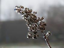 Il gelo sull'erba dopo pioggia congelantesi Fotografia Stock