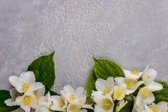 Il gelsomino fiorisce il fondo Fotografia Stock