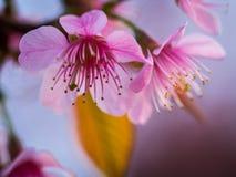 Il gemello dei fiori rosa sembra la ciliegia chiamata di Wild Himalayan Immagine Stock Libera da Diritti