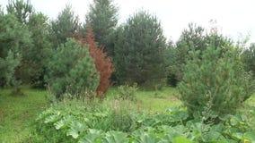 Il genere delle piante legnose delle Pinacee archivi video