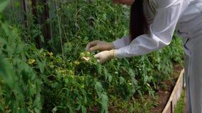 Il genetista controlla lo stato dei campioni sperimentali dei pomodori archivi video