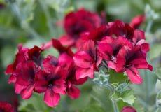 Il geranio fiorisce rosso e nero, pelargonium unico Fotografia Stock