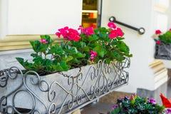 Il geranio rosso conservato in vaso fiorisce all'entrata della città europea, il paesaggio urbano, i dettagli architettonici, est Fotografia Stock