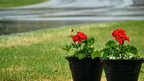Il geranio rosso fiorisce fuori nella pioggia di primavera archivi video