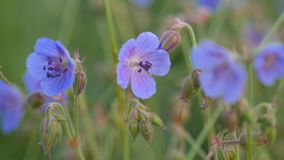 Il geranio selvatico campo-blu Campo verde in estate archivi video