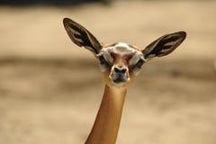 Il Gerenuk (walleri del Litocranius). Immagine Stock Libera da Diritti