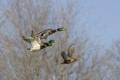 Il germano reale Ducks durante il volo Fotografie Stock