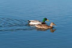 Il germano reale Ducks il nuoto Fotografia Stock Libera da Diritti