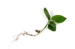 Il germe del grano La radice e le foglie verdi Fotografia Stock