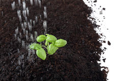 Il germoglio del basilico in suolo che è spruzza Immagini Stock