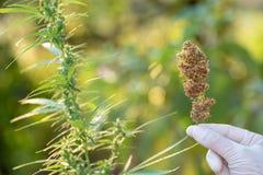 Il germoglio della pianta della cannabis a disposizione si chiude su Pianta e germoglio di fioritura sativa della cannabis della  fotografia stock libera da diritti