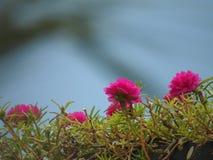 Il germoglio rosa è aumentato Fotografie Stock
