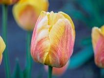 Il germoglio rosso del primo piano del tulipano con fondo verde confuso, fuoco molle Fondo per il giorno del ` s della madre, l'8 Fotografia Stock