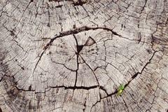 Il germoglio verde fresco della plantula con le foglie verdi che crescono sull'albero morto del ceppo in foresta, macro immagine  Fotografia Stock Libera da Diritti