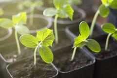 Il germoglio verde piantato nella terra, piantine del cetriolo si chiude su modificato fotografia stock