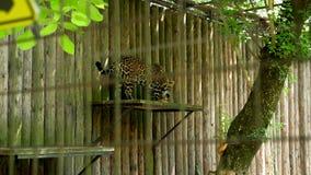 Il ghepardo che salta nello zoo archivi video