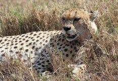 Il ghepardo dentro si rilassa, il Botswana Immagine Stock Libera da Diritti