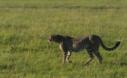 Il ghepardo sta camminando fotografie stock