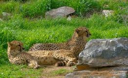 Il ghepardo sta riposando godendo del giorno soleggiato fotografie stock libere da diritti