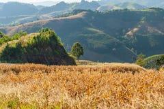 Il giacimento del mais è una pianta coltivata per alimento sulla montagna Fotografia Stock Libera da Diritti