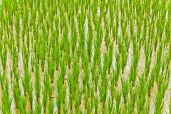 Il giacimento del riso Fotografie Stock