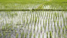 Il giacimento del riso Fotografia Stock