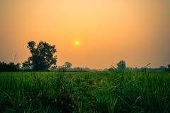 Il giacimento del riso nel moring Fotografie Stock