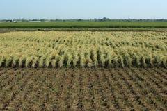 Il giacimento del riso nell'ambito della raccolta Fotografie Stock