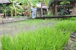 Il giacimento del riso simula come centro di apprendimento per i giovani agricoltori Immagine Stock