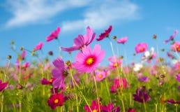 Il giacimento di fiore dell'universo Fotografia Stock