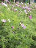 Il giacimento di fiori rosa fotografia stock