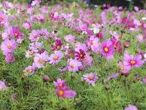 Il giacimento di fiori rosa immagine stock libera da diritti