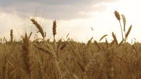 Il giacimento di grano accarezzato dallo steadicam dell'agricoltura di concetto di salute del fondo della natura di Crane Shot de Immagine Stock
