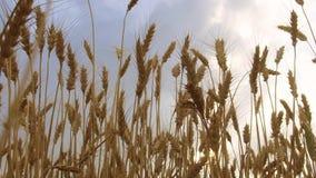 Il giacimento di grano accarezzato dallo steadicam dell'agricoltura di concetto di salute del fondo della natura di Crane Shot de Fotografia Stock Libera da Diritti