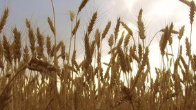 Il giacimento di grano accarezzato dallo steadicam dell'agricoltura di concetto di salute del fondo della natura di Crane Shot de Immagini Stock