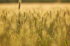 Il giacimento di grano agricolo, giallo e aspetta per il fuoco selettivo del raccolto Fotografia Stock Libera da Diritti