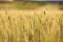Il giacimento di grano agricolo, giallo e aspetta per il fuoco selettivo del raccolto Fotografia Stock