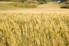 Il giacimento di grano agricolo, giallo e aspetta per il fuoco selettivo del raccolto Fotografie Stock Libere da Diritti