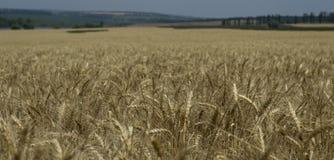 Il giacimento di grano per sparare non a fuoco Fotografia Stock