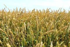 Il giacimento di grano soleggiato è pronto per raccogliere fotografie stock libere da diritti