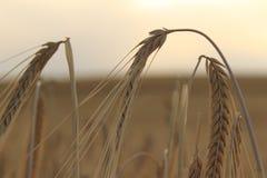 Il giacimento di grano zumma il fuoco Fotografie Stock Libere da Diritti